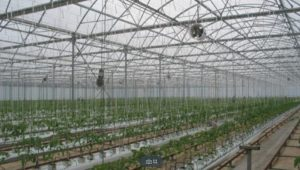 The tomato plants are tied to the roof of the glasshouse so our farmer's can gently encourage the direction they grow in.
