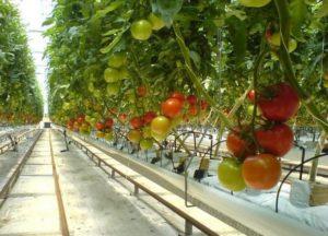Tomato_crop