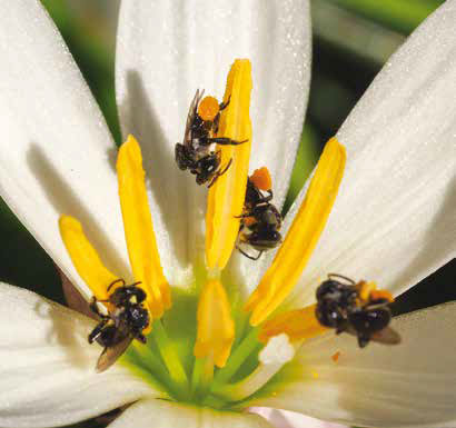 Above: Stingless bee foraging on Lily. Photo: James Cook